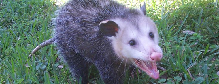 Rabid possum