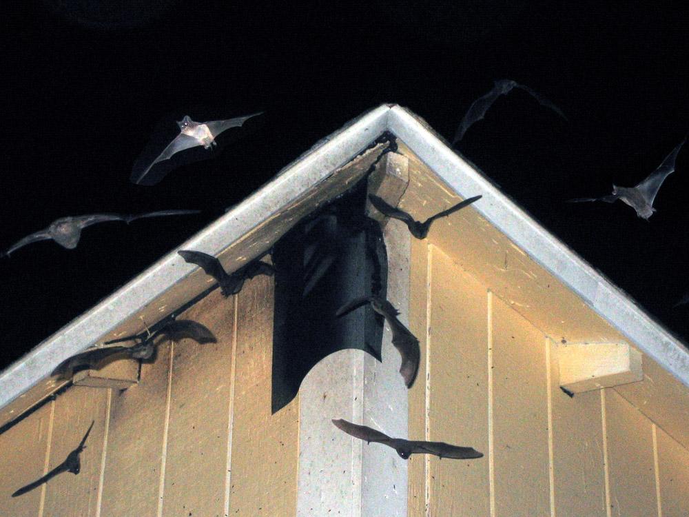 Bat Photograph 002 Miami Bat Removal Job