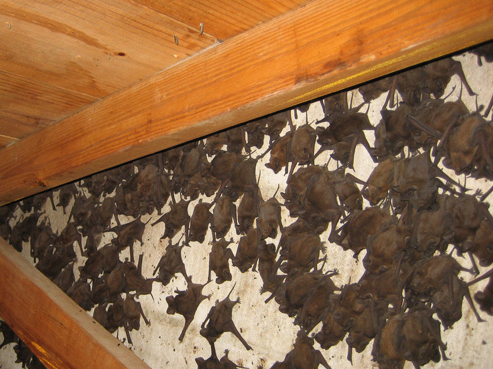 Bat Photograph 013 Over 1000 Bats In This Attic