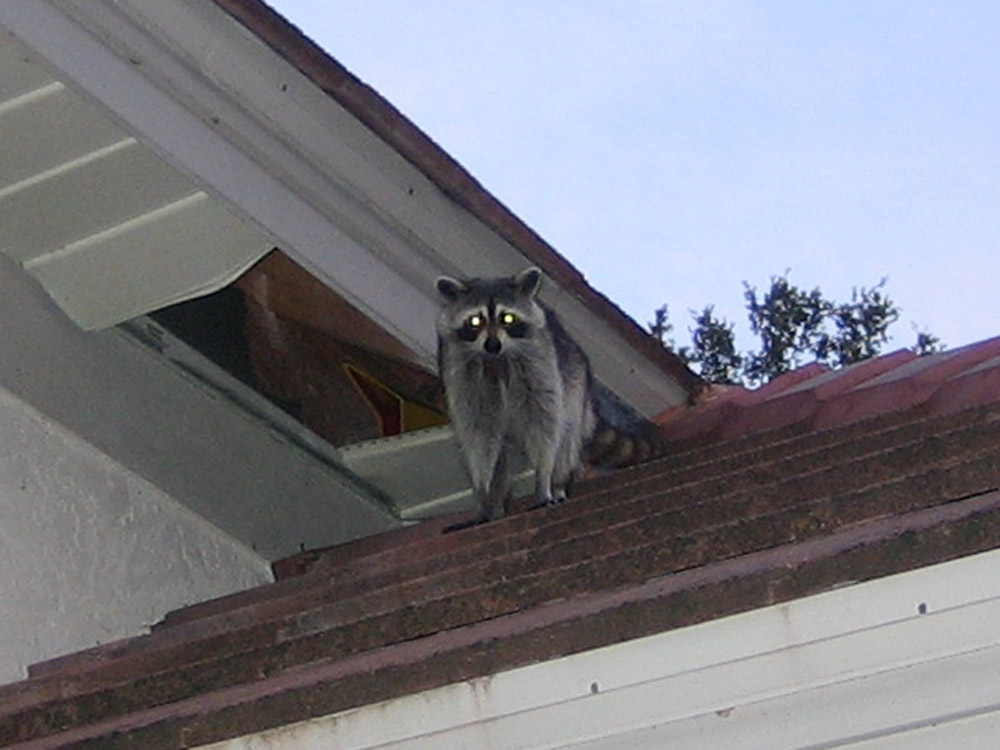 Raccoon Photograph 12 They Often Push Open Or Remove A