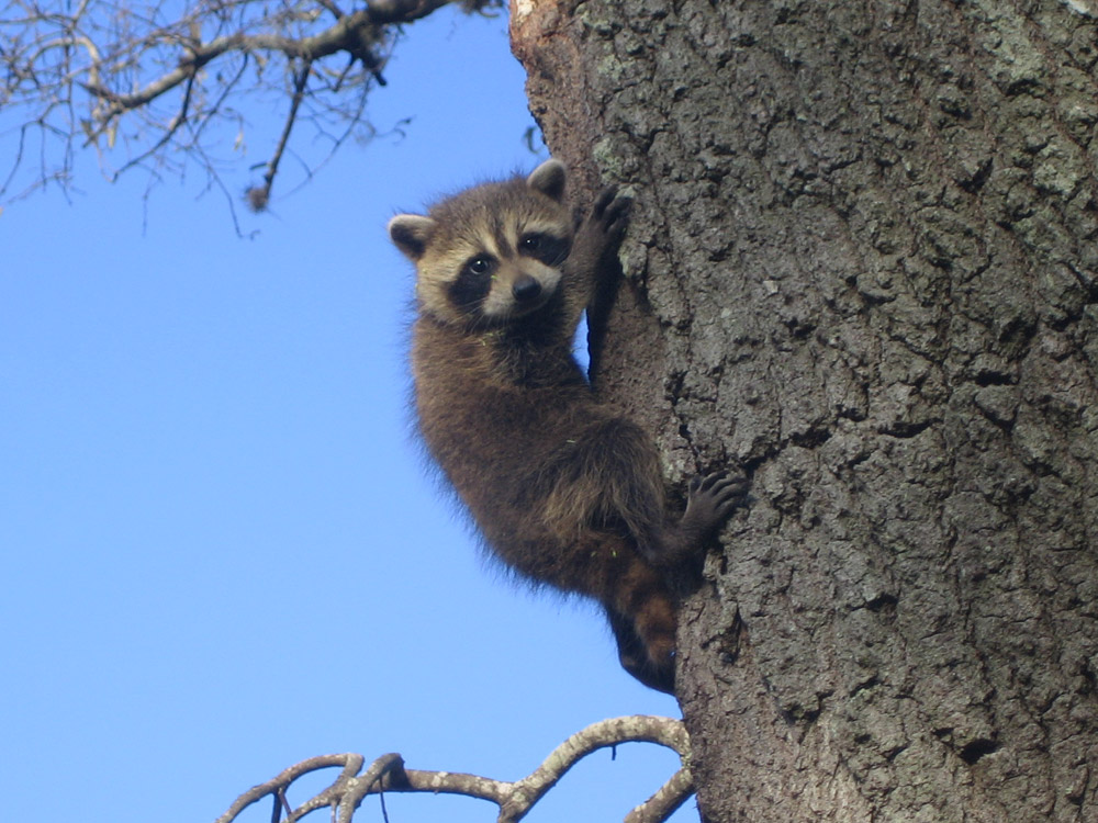 Raccoon Photograph 017 Even Babies Are Good Climbers