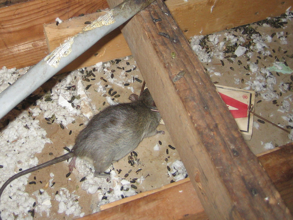 Rat Photograph 008 This Attic Had Thousands Of Droppings