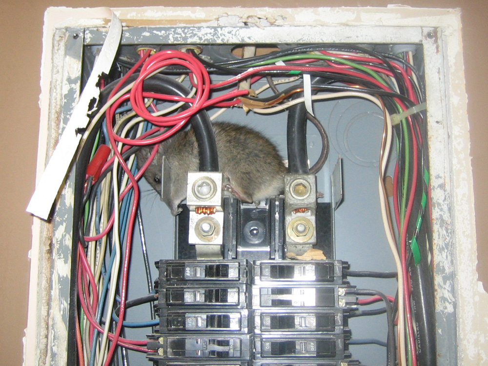 Rat Photograph 010 Inside A Circuit Breaker Box