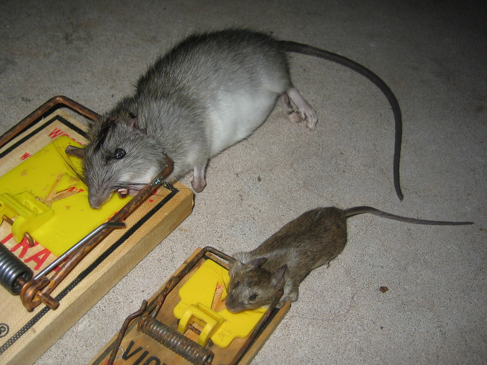 Miraculous Rat Photograph 015 A Roof Rat And A House Mouse Interior Design Ideas Oteneahmetsinanyavuzinfo