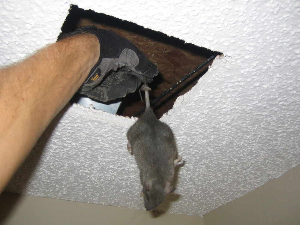 Rat Photograph 016 I Cut A Hole In The Ceiling For This One