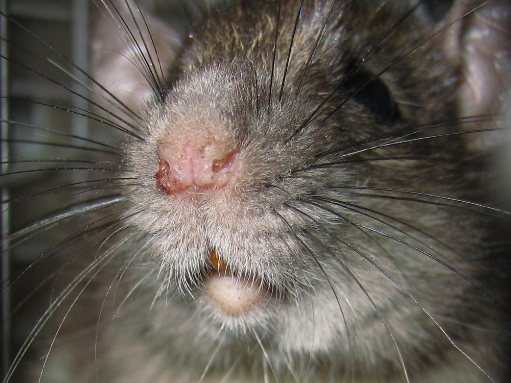 Rat Photograph 017 Close Photograph Of Rattus Rattus