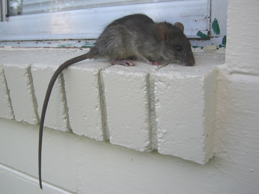 Rat Photograph 019 Rats Prefer Buildings To Trees