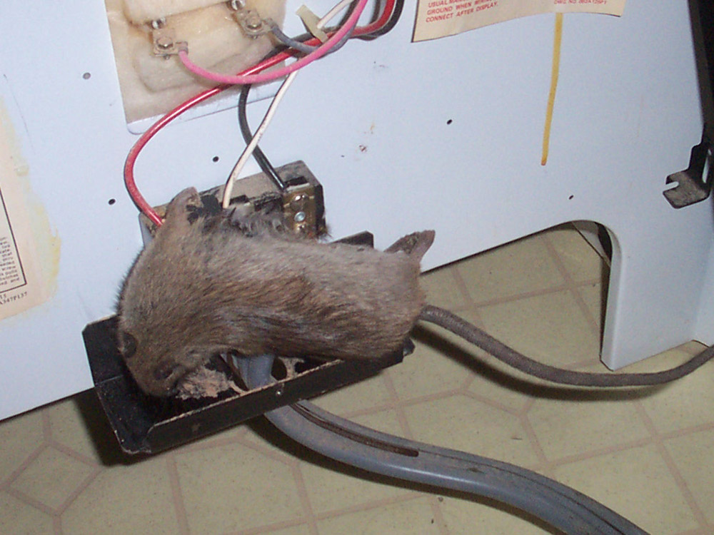 Rat Photograph 027 When They Chew Wires They Get