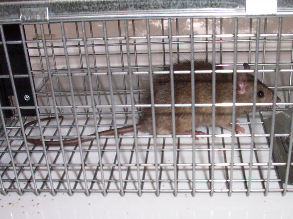 Rat Photograph 028 I Don T Usually Use Cage Traps For Rats