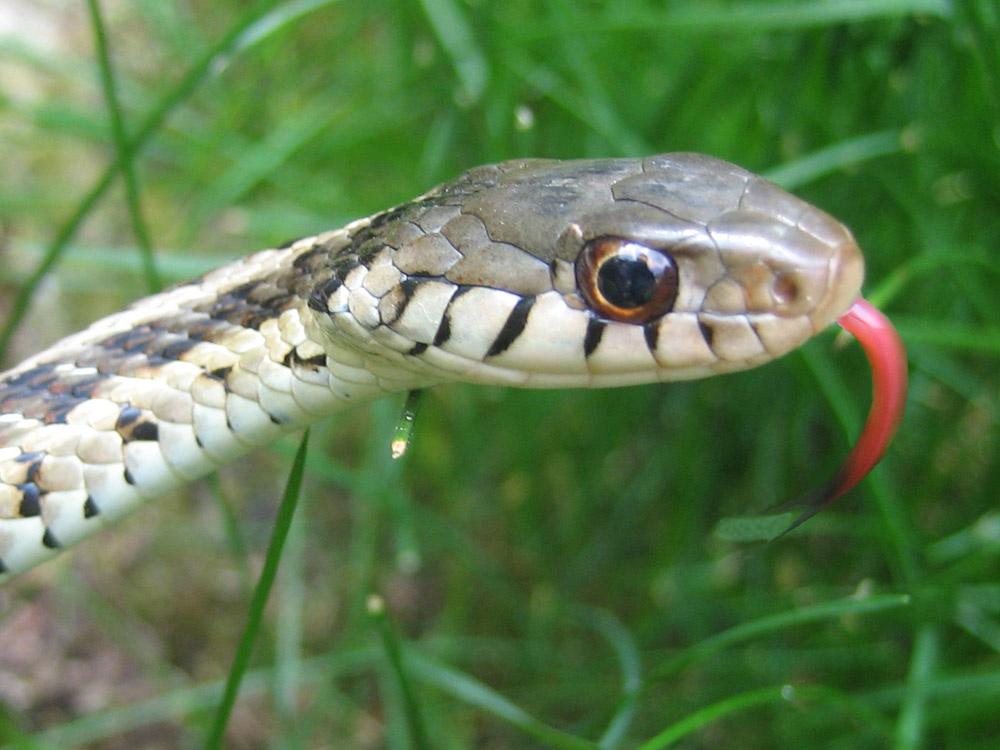 Florida Snake Photograph 019 Detail Photo Garter Snake