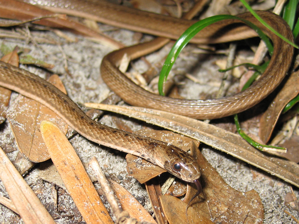 florida snake brown striped