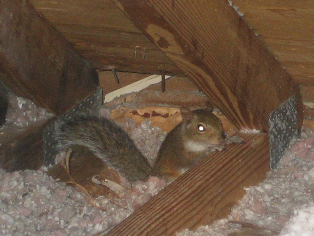 Groovy Squirrel Photograph 013 Squirrels Often Choose Attics As Home Beutiful Home Inspiration Ommitmahrainfo