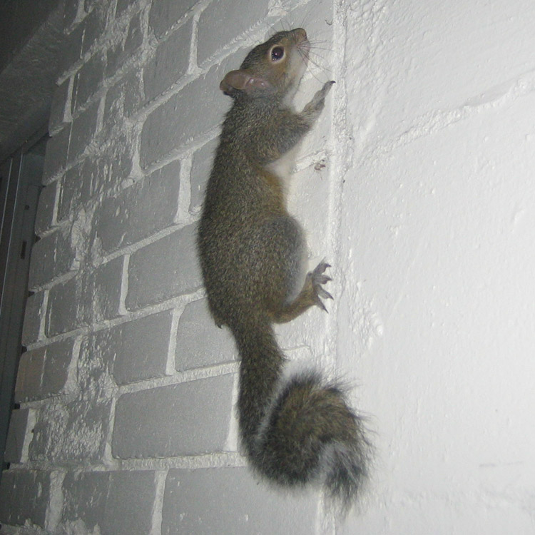 Squirrel Photograph 031 Climbing Up The Wall Into The