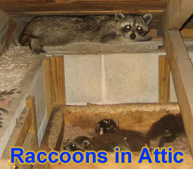 Noises in the attic - Are animals causing noise in my walls or ceiling?