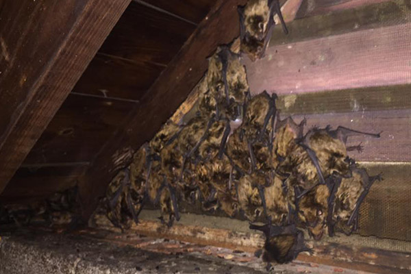 How To Get Bats Out Of Your Attic