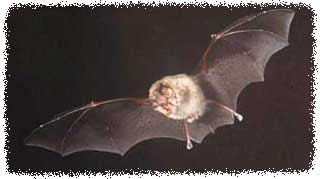 How To Get Rid of Bats How To Cover Pipes In Bat Ceiling on