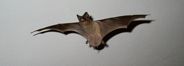When Bats Get Into A House It Can Be Frightening Experience And Is Usually Not Easy To Them Out Again The Best Option Employ Professional