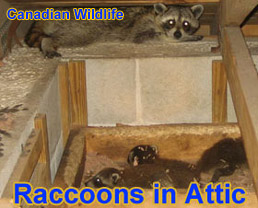 Canadian Animal Control Wildlife Trappers Raccoon
