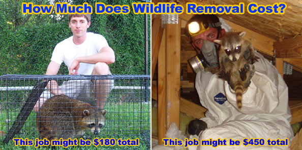 How Much Does It Cost To Get Rid Of Rats Raccoons