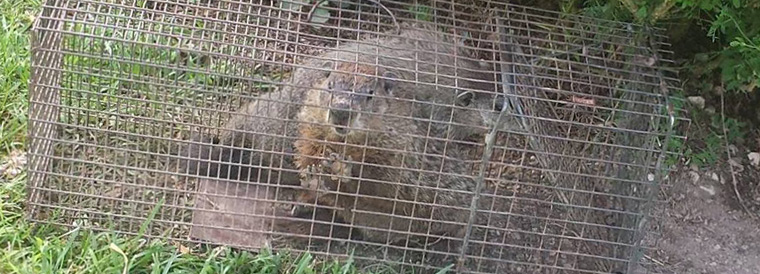 how to keep groundhogs away from house