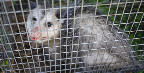 How To Get Rid of Opossums / Possums