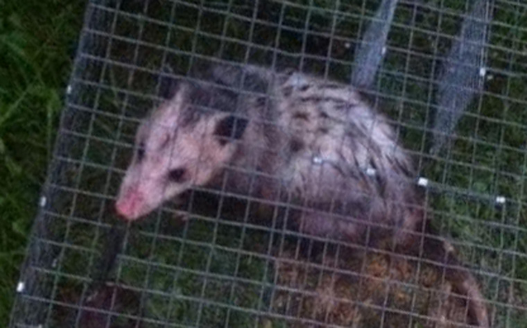 What attracts opossums?