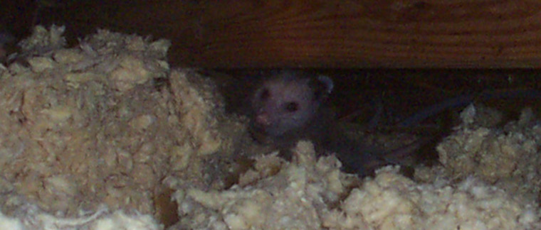 What Kind Of Damage Do Opossums Cause In An Attic Or Under