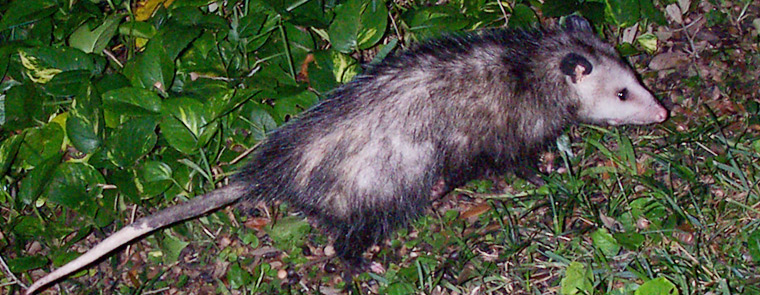 What Diseases Do Opossums Carry?