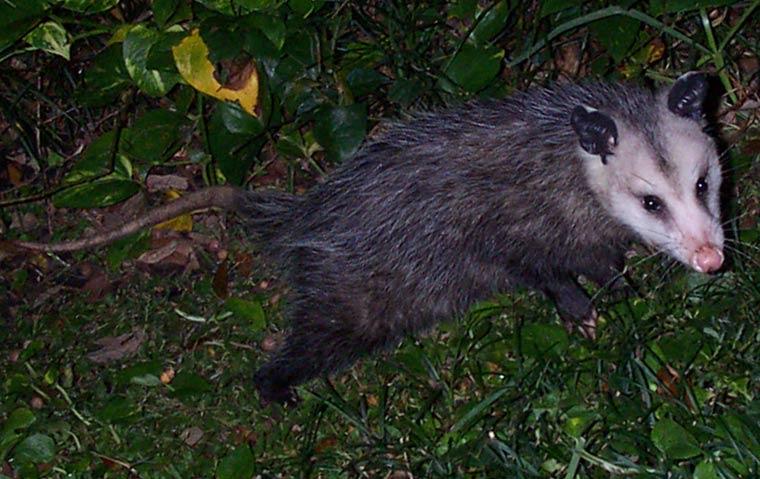 Do possums hibernate?