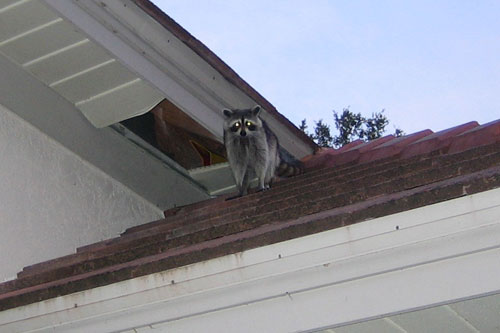 Raccoons in the Attic - How to Get Raccoons Out of an Attic - Baby ...