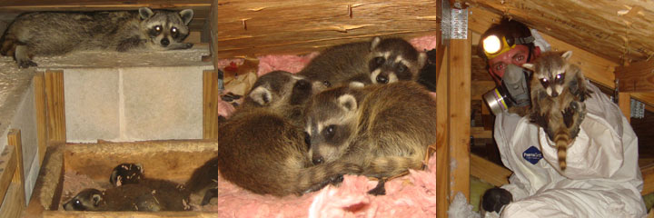 Raccoon In The House How To Get A Raccoon Out Of Your House