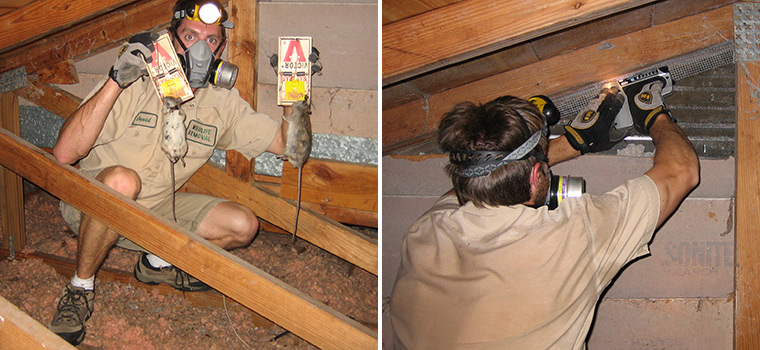 Rats In The Attic How To Get Rats Out Of Your Attic