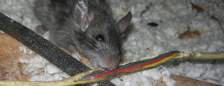 Do Rats Chew On Wires Why