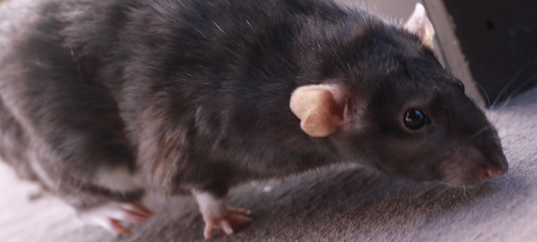 What do rats sound like?