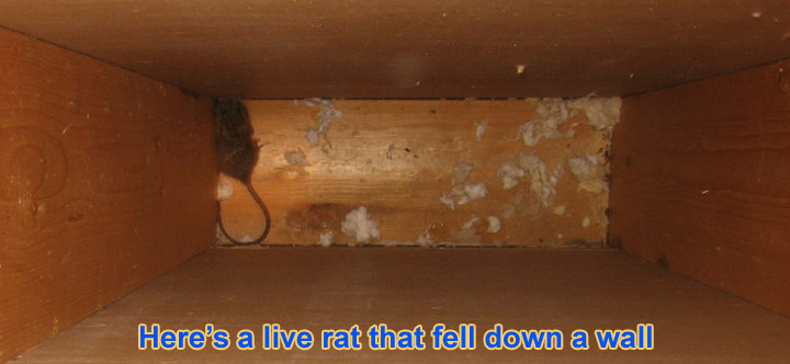 Rats In The Wall How To Get Rats Out Of Your Walls