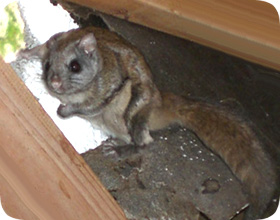 How To Get Rid Of Flying Squirrels