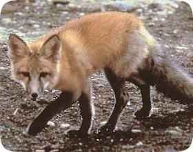 How to Get Rid of Foxes