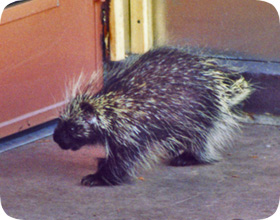 How do you get rid of porcupines?