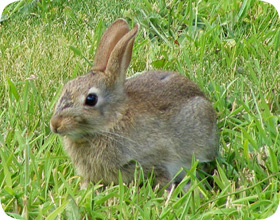 Charmant Rabbit Removal   How To Get Rid Of Rabbits