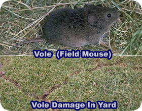 How to Get Rid of Voles Field Mice