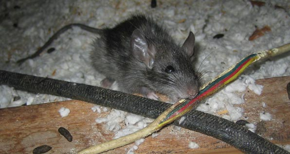 Rodents Chew On Wires In Attic Rats Mice