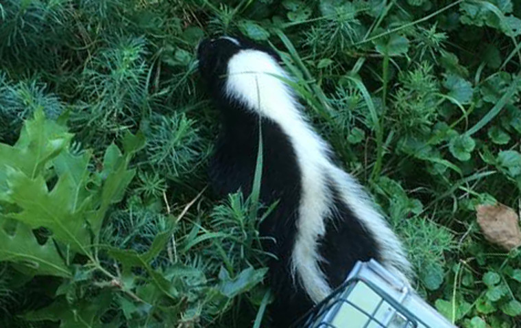 How to remove skunk smell from a house or car