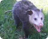 Opossum Kansas Kansas City Wildlife i...
