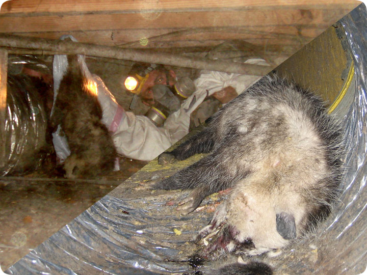 Dead Animal Carcass Removal Under House