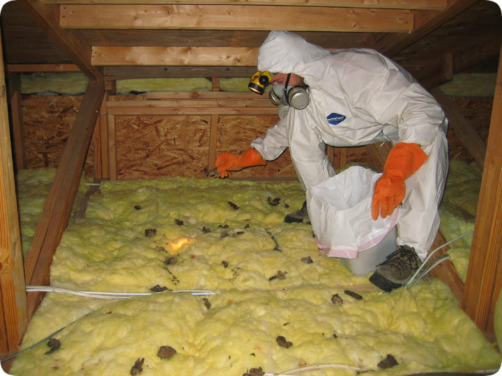 Animal Poop In The Attic Diseases From Wildlife Waste