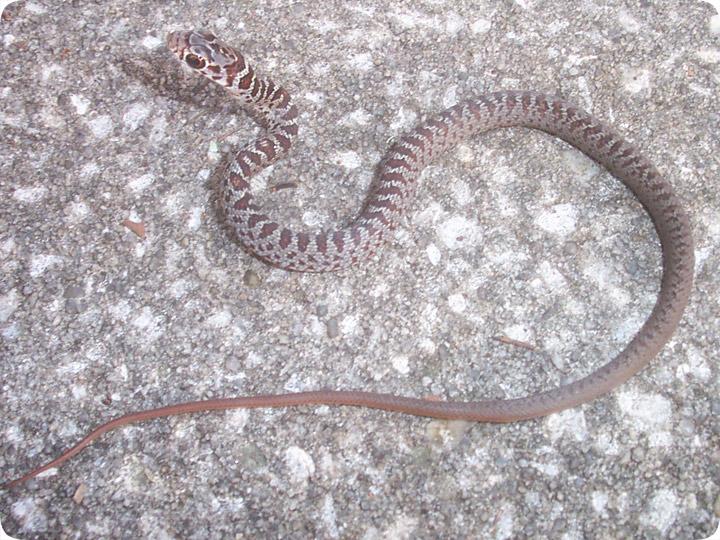 Baby Black Racer Snake