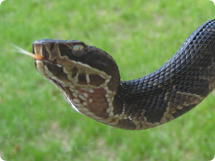 Baby Cottonmouth Photo / Picture