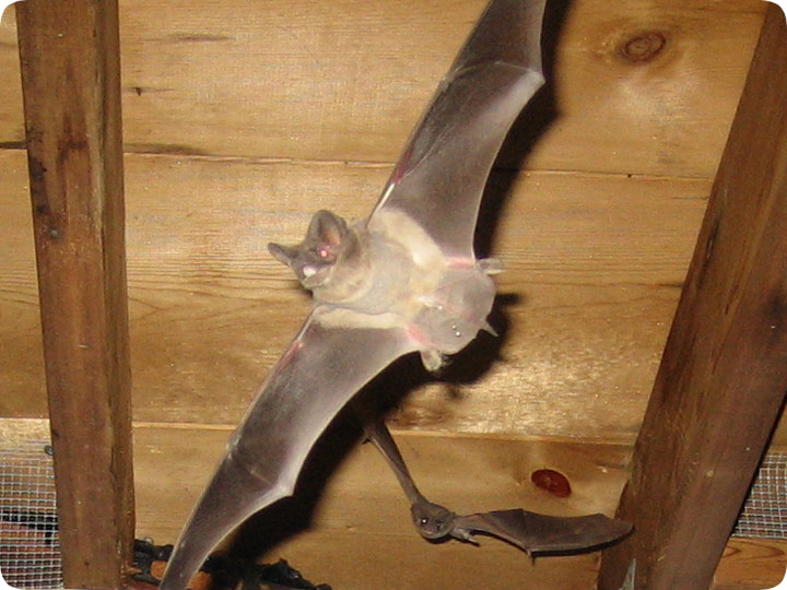 Does Bat Trapping Work