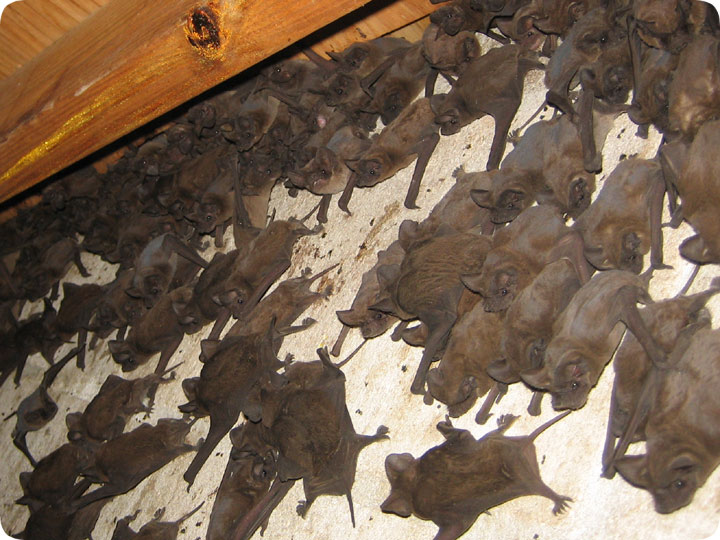 A Giant Colony Of Free Tail Bats In The Attic
