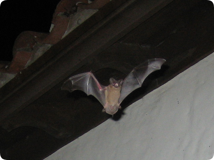 Bats In A Spanish Barrel Tile Roof